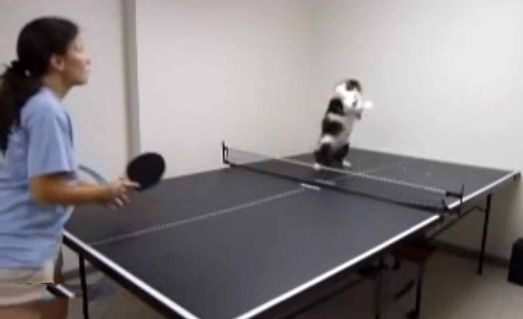 Cat Ping Pong Youtube