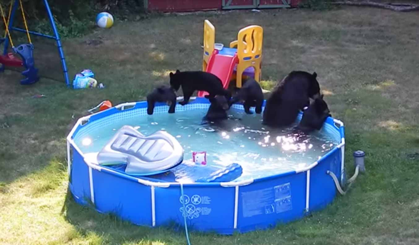 Family of bears play in backyard swimming pool for Bears in swimming pool new jersey