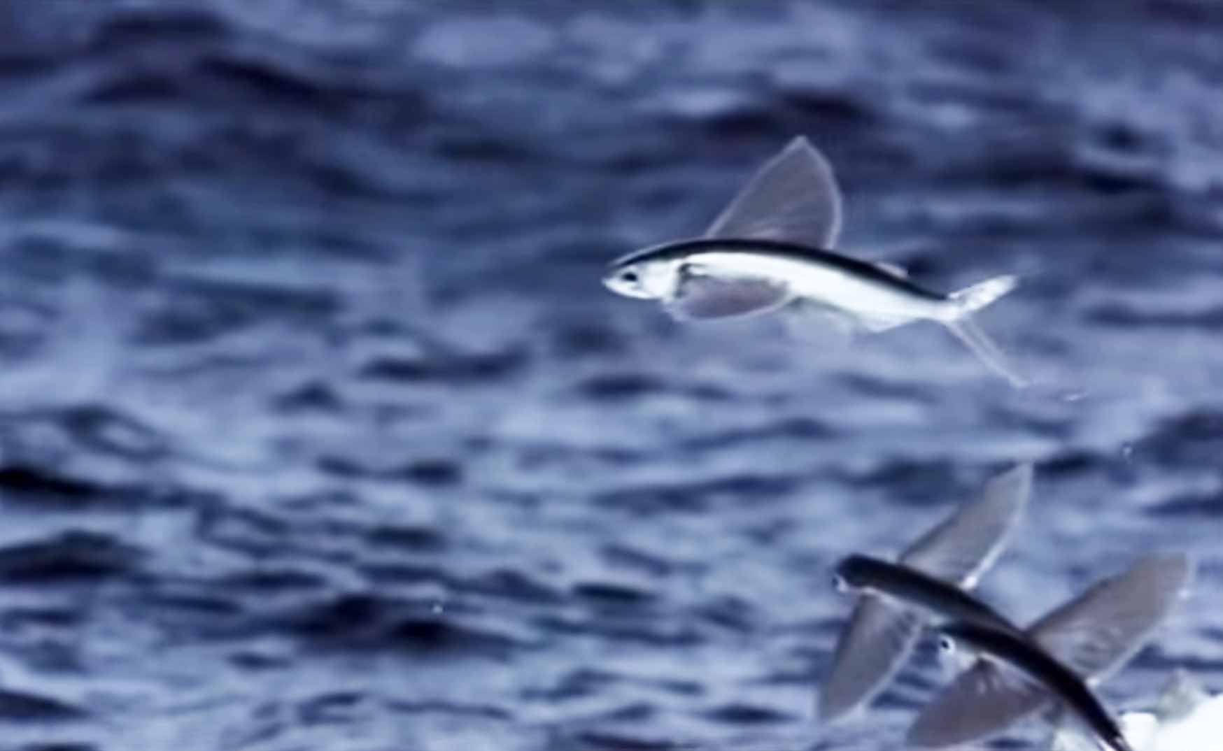 Incredible flying fish for The flying fish