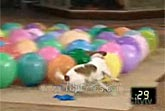 1 Dog vs 50 Balloons