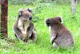 Koala Couple Gets Into An Argument