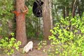 Little Dog Chases Bear Up A Tree